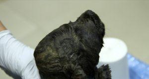 Παλαιοντολόγοι ανακάλυψαν άθικτο το σώμα ενός κουταβιού στη Σιβηρία