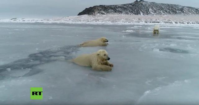Αρκούδες παλεύουν να σταθούν σε πάγους που λιώνουν
