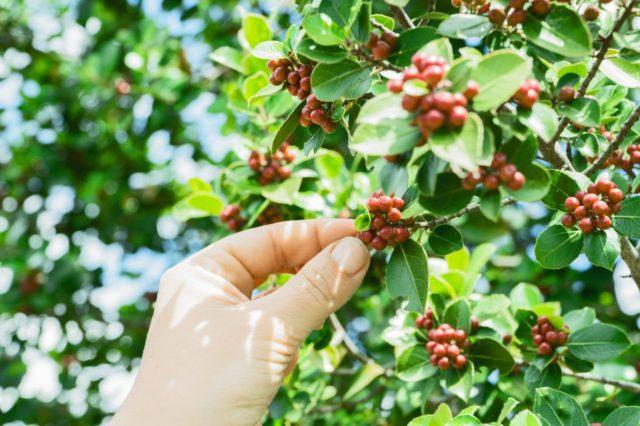καφεόδεντρο, Coffea