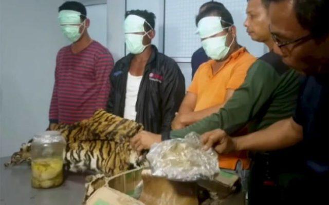 Συνέλαβαν 5 άνδρες για κατοχή εμβρύων τίγρης