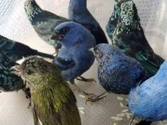 Συνελήφθη άνδρας με προστατευόμενα πουλιά στη βαλίτσα του