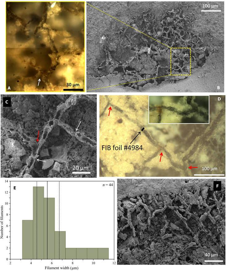 Απολιθώματα των αρχαιότερων μυκήτων βρέθηκαν σε Βελγικό μουσείο