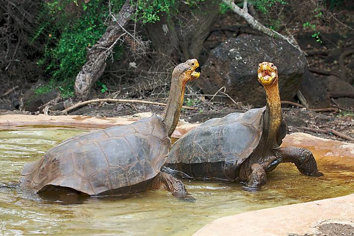 Χελώνα Galapagos dominance display
