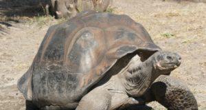 Χελώνα Galapagos giant tortoise Geochelone elephantopus