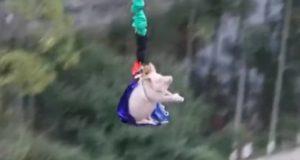 Έβαλαν γουρούνι να κάνει bungee jumping και ύστερα το έσφαξαν