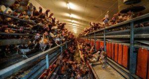 Εικόνες ντροπής σε πτηνοτροφική μονάδα στη Βρετανία