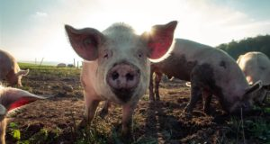 Χοίρος, γουρούνι