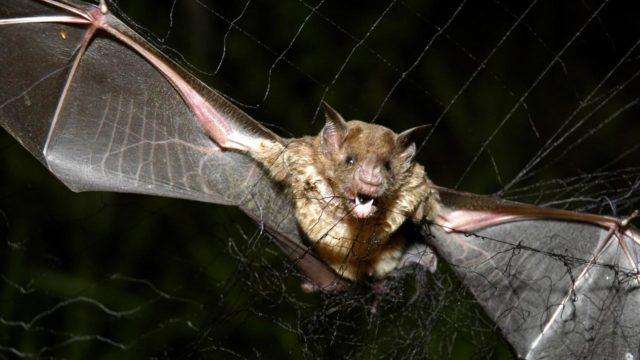 Nυχτερίδες