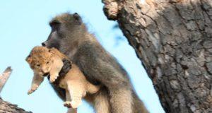 babouinos 2