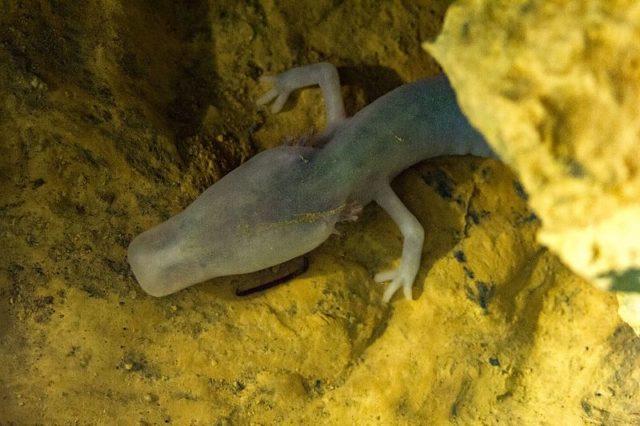 Σαλαμάνδρα Proteus anguinus