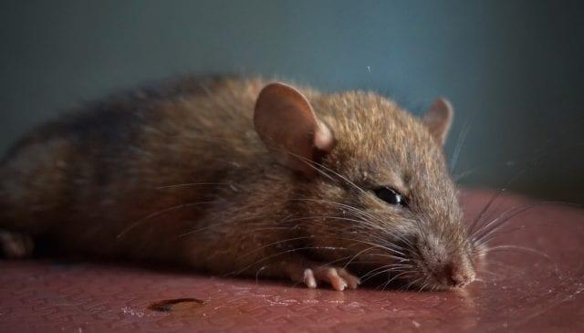 Ποντίκι, πειραματόζωο