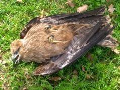 Κρήτη: Ξαφνικός θάνατος για δεκάδες άγρια πουλιά γύρω από τον ΧΥΤΑ Αμαρίου (εικόνες - σοκ)