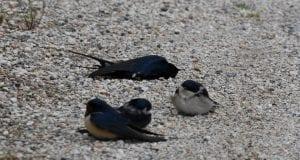 Θλιβερές εικόνες με εκατοντάδες νεκρά χελιδόνια στην Αργολίδα (φωτογραφίες και βίντεο)