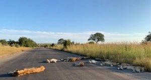 Λιοντάρια - Νότια Αφρική