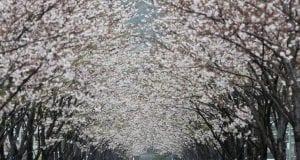 Κερασιές - Ιαπωνία