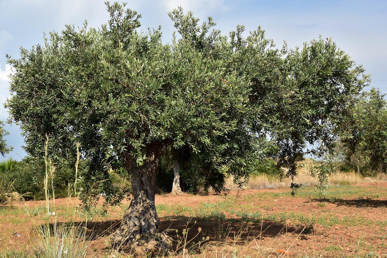 Bακτήριο σκοτώνει τα ελαιόδενδρα - Η απειλή για την Ελλάδα και η οικονομική καταστροφή