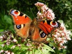 Πεταλούδα - Έντομα
