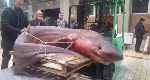 Καρχαρίας - Καβάλα - καρχαριοειδές
