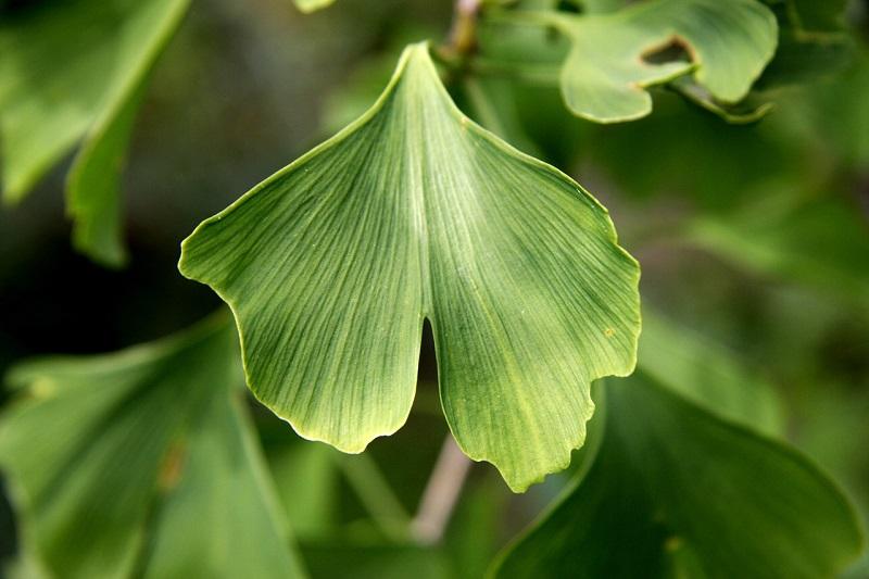 Ginkgo biloba leaf