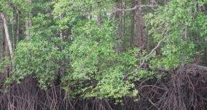 μαγκρόβια δάση