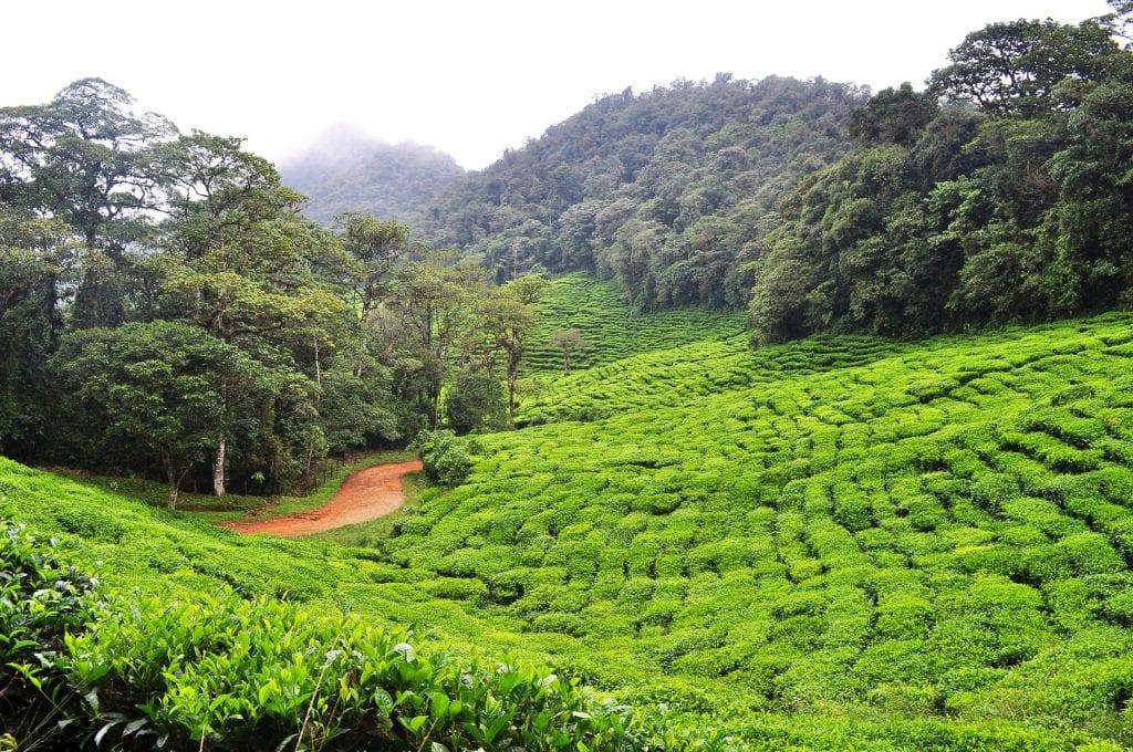Πράσινο Τσάι Κολομβία