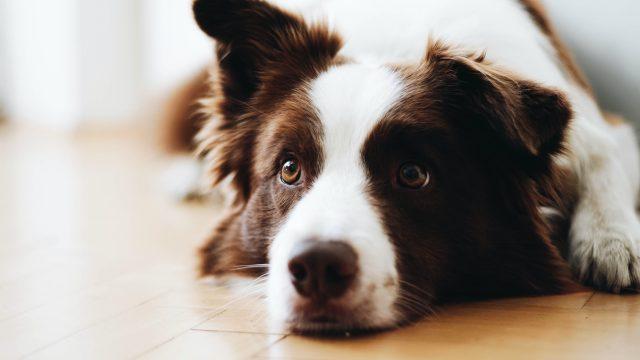 Σκύλος συντροφιάς