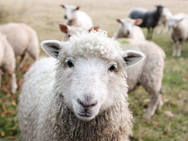 Τα πρόβατα διαισθάνθηκαν το σεισμό