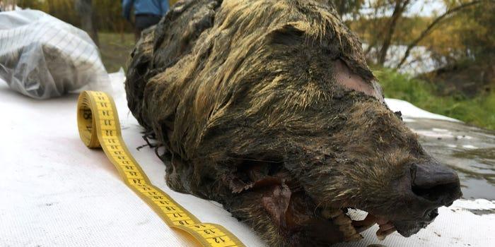 Λύκος από την εποχή των παγετώνων Reuters