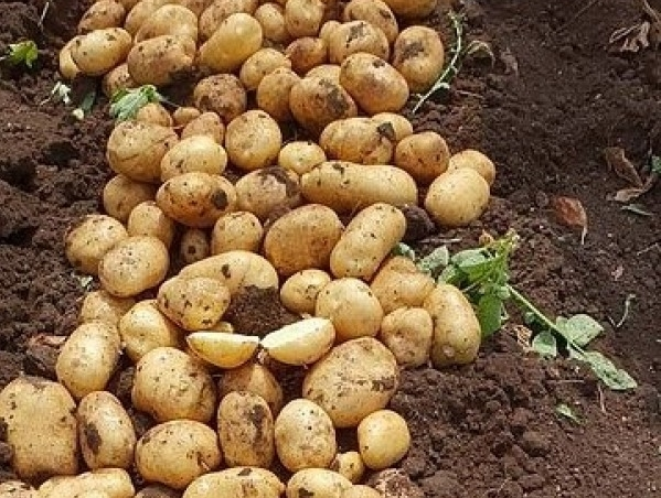 πατάτας