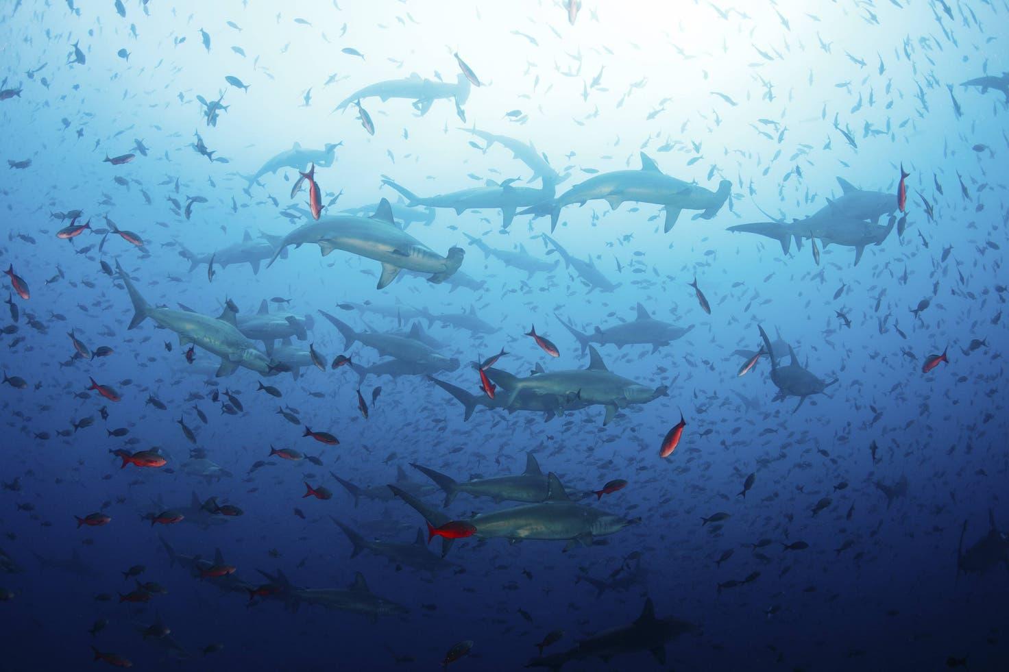 παράνομη αλιεία - καρχαρίες