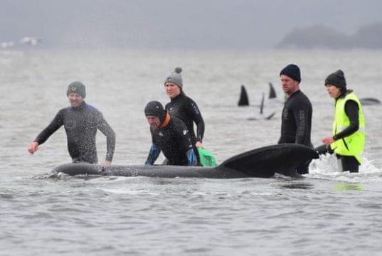 Διάσωση φαλαινών στην Τασμανία