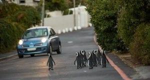 Πιγκουίνοι στην πόλη bbc
