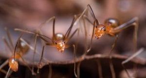 Κίτρινα Τρελά μυρμήγκια