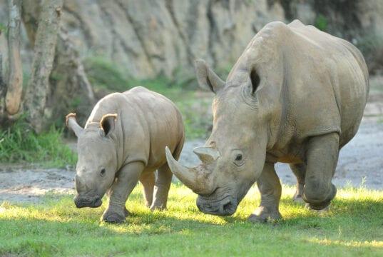 White rhino Disney Kingdom Animal