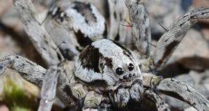 αράχνη - αλεπού