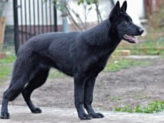 black german shepherd, γερμανικό ποιμενικό