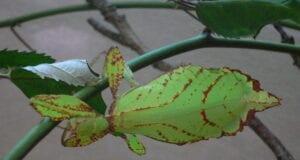 έντομα φύλλων