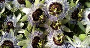 βότανο Πασσιφλόρα