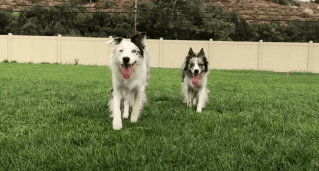 σκύλοι ρεκόρ guiness