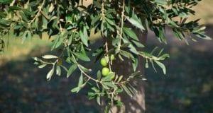 ελιά δέντρο