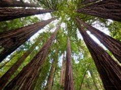 δέντρα Καλιφόρνια