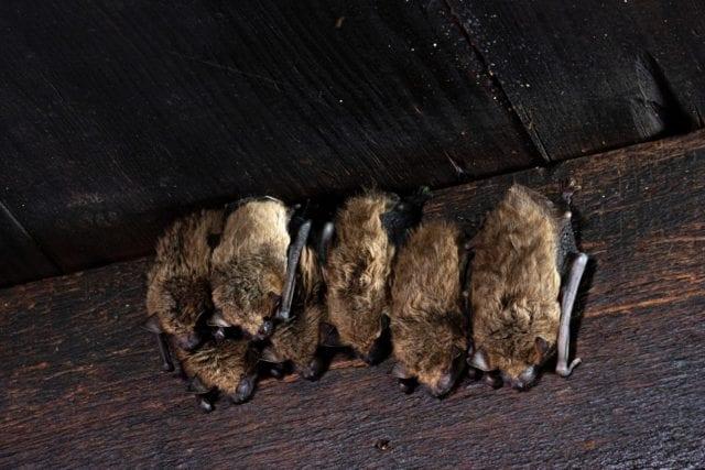 νυχτερίδες