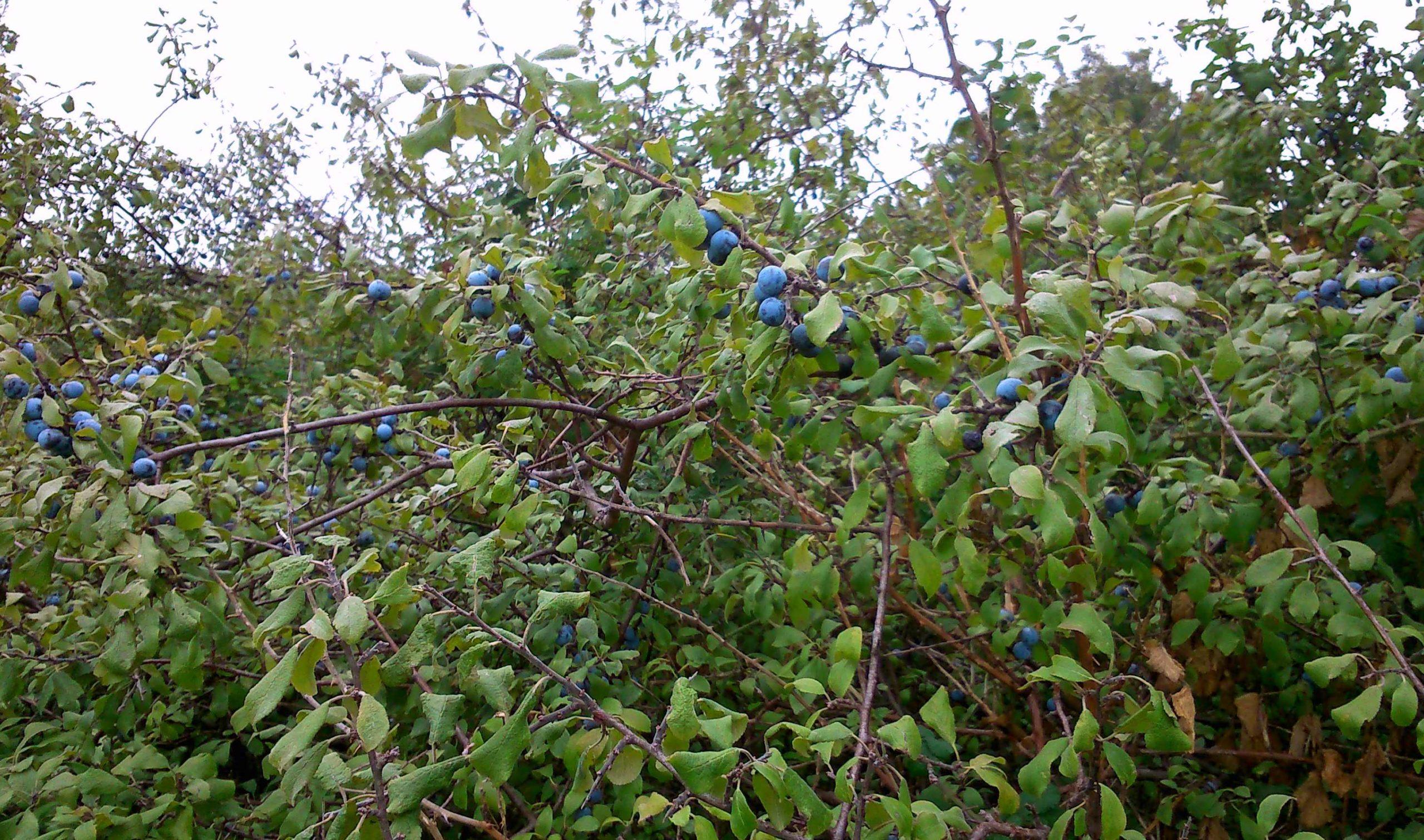 Prunus Spinoza