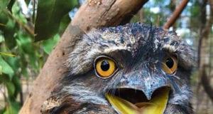 Κουκουβάγια Tawny Frogmouth Moonlit Sanctuary