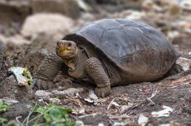 γκαλαπανγκος χελωνα σπανια