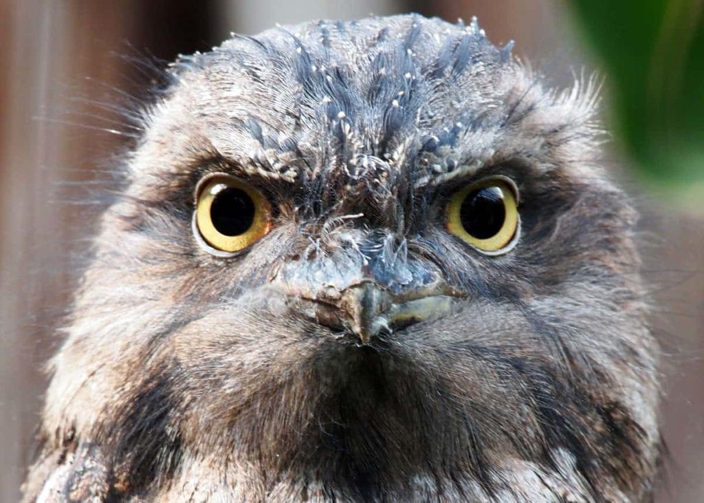 tawny frogmouth JUST BIRDING