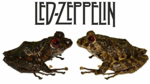 60CC8D9F new species of frog found in ecuador named after led zeppelin image