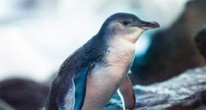 Little Penguin eBird Μικροι πιγκουινοι