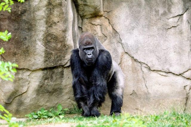 amy reed unsplash gorilla γοριλας