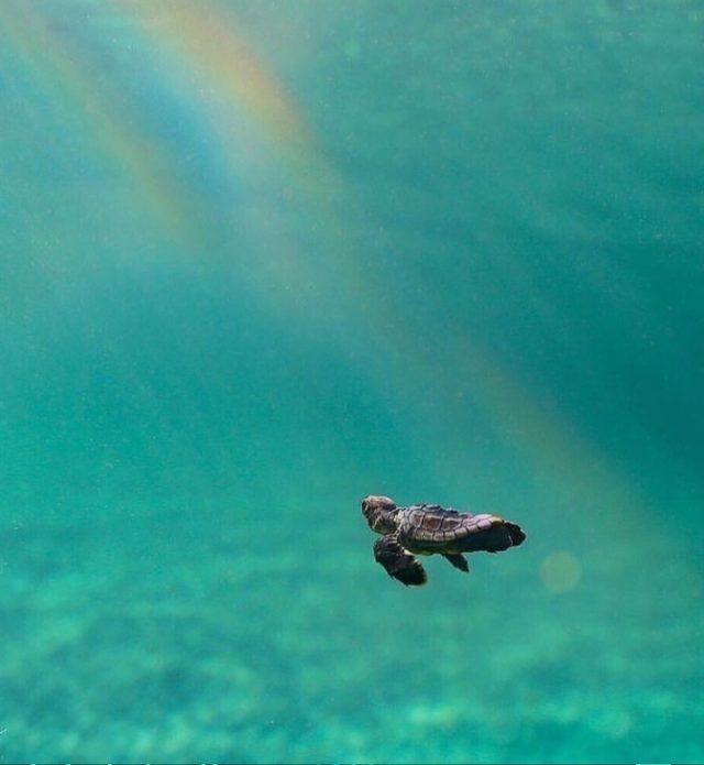 χελωνακι